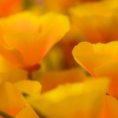 Poppies - Full Size from Flickr